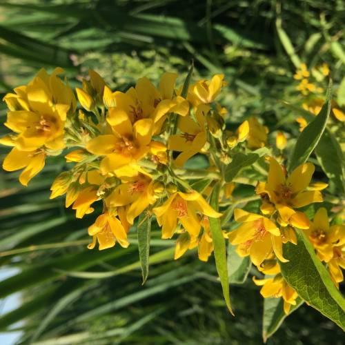 Вербозілля звичайне (Lysimachia vulgaris)