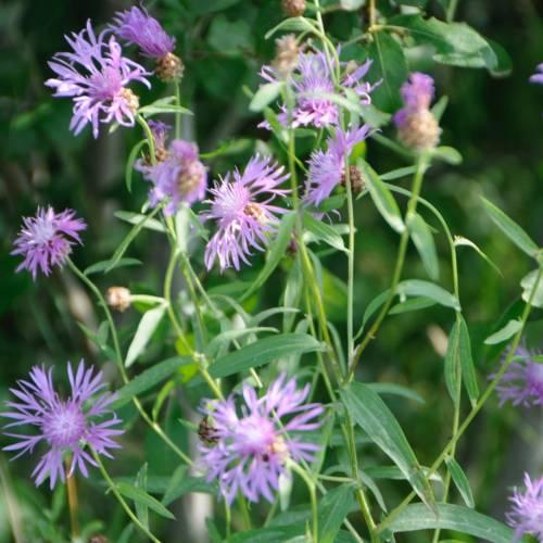 Волошка лучна (Centaurea jacea)