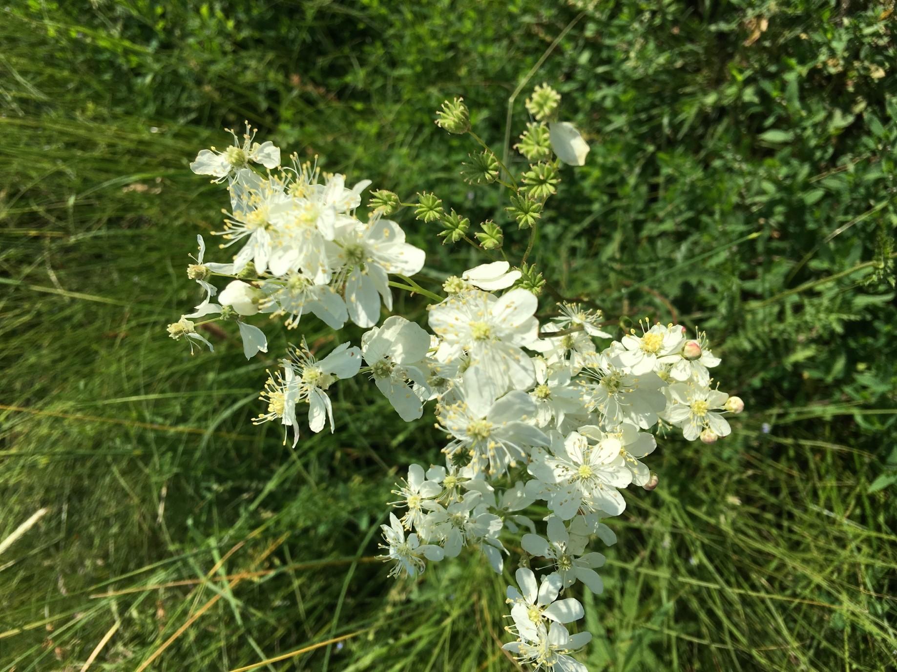 Гадючник звичайний (Filipendula vulgaris)