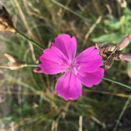 Гвоздика Борбаша (Dianthus borbasii)