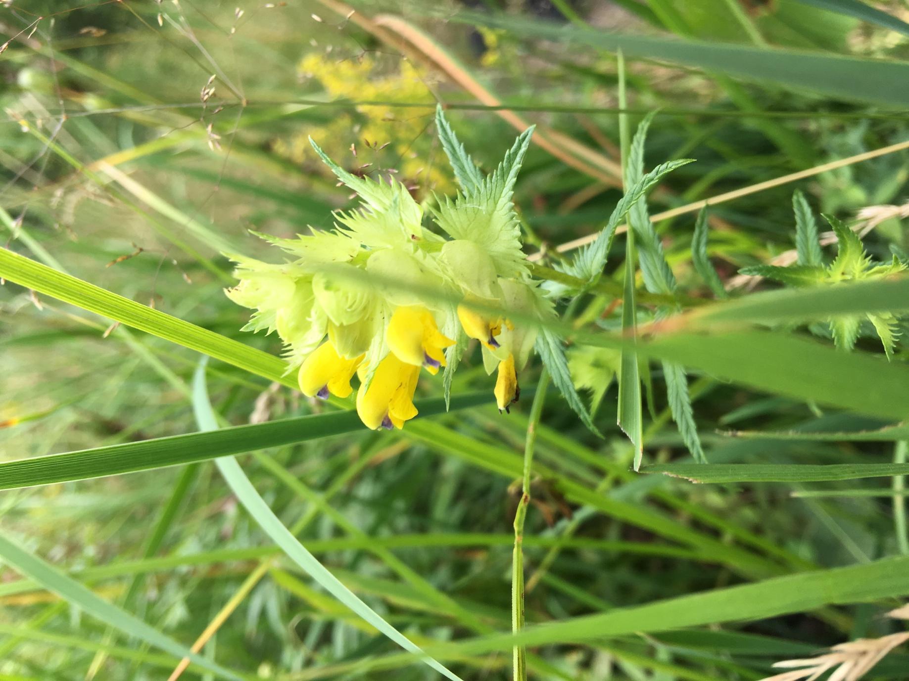 Дзвінець малий (Rhinanthus minor)