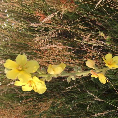 Дивина звичайна (Verbascum phlomoídes)
