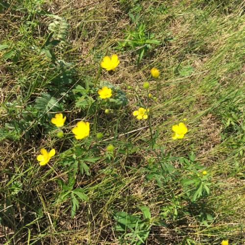 Жовтець їдкий (Ranunculus acris) і жовтець багатоквітковий (Ranunculus polyanthemos)