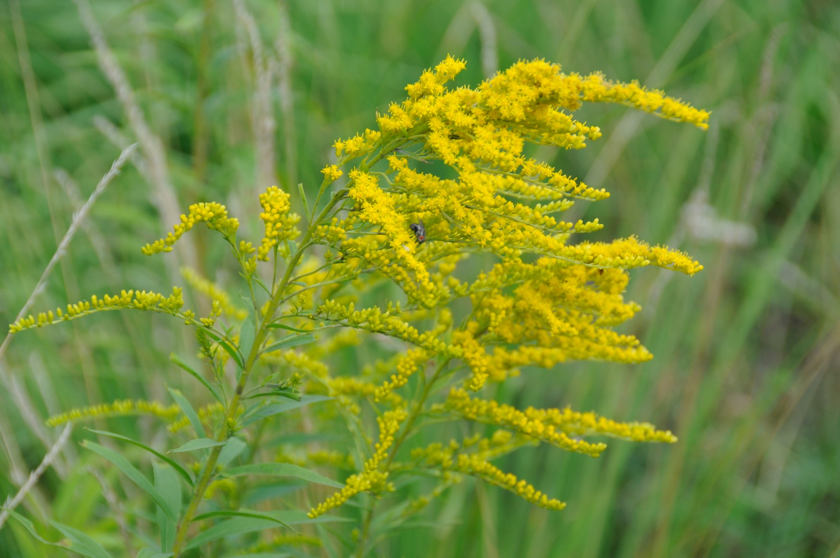 Золотушник канадський (Solidágo canadénsis)