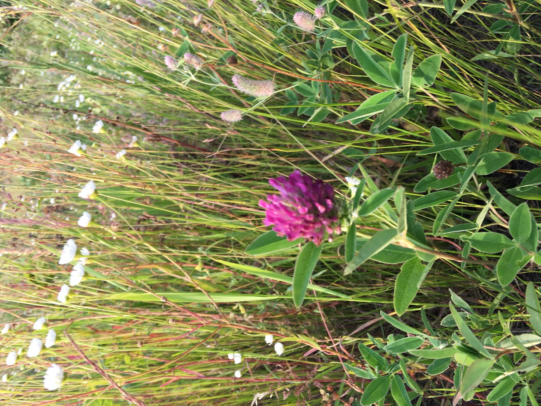 Конюшина альпійська (Trifolium alpestre)