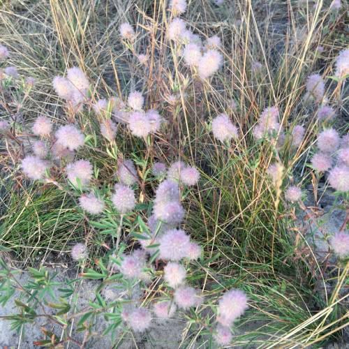 Конюшина польова (Trifolium arvense)