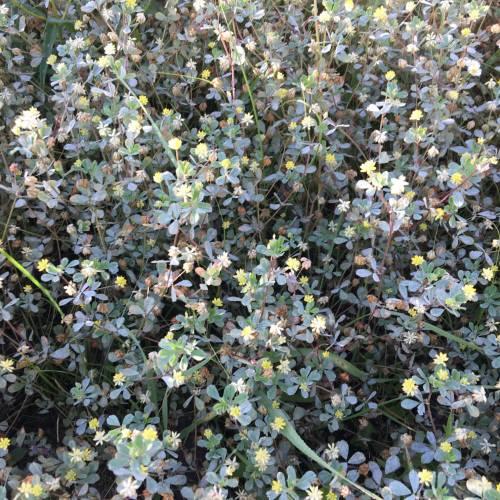 Конюшина сумнівна (Trifolium dubium)