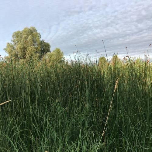 Куга озерна (Scirpus lacustris)