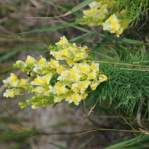 Льонок звичайний (Linaria vulgaris)