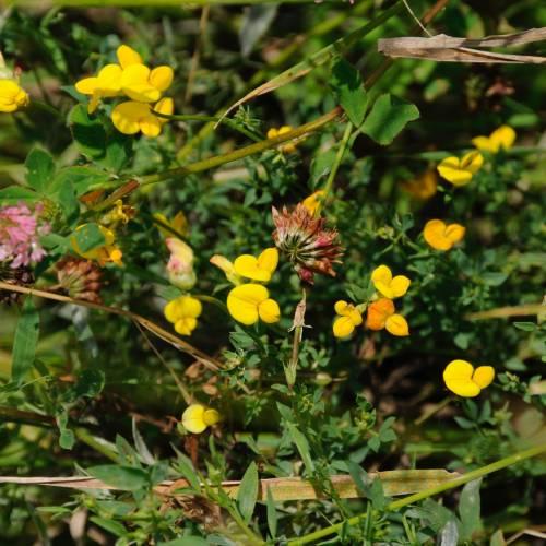Лядвенець болотний (Lotus uliginosus)