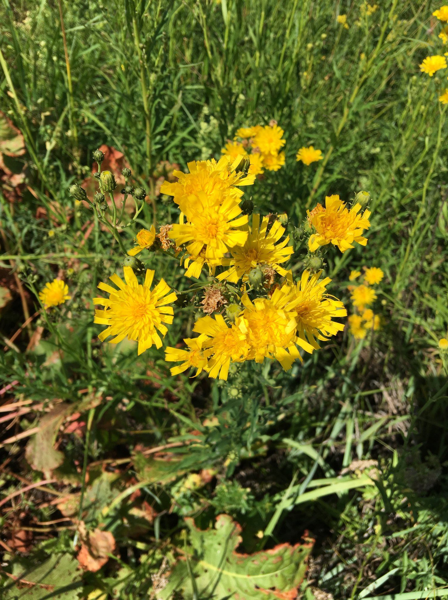 Нечуйвітер зонтичний (Hieracium umbellatum)