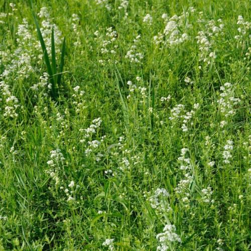 Підмаренник північний (Galium boreale)
