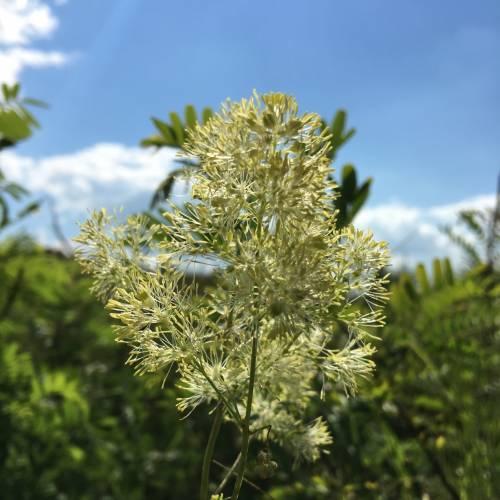 Рутвиця блискуча (Thalictrum lucidum)