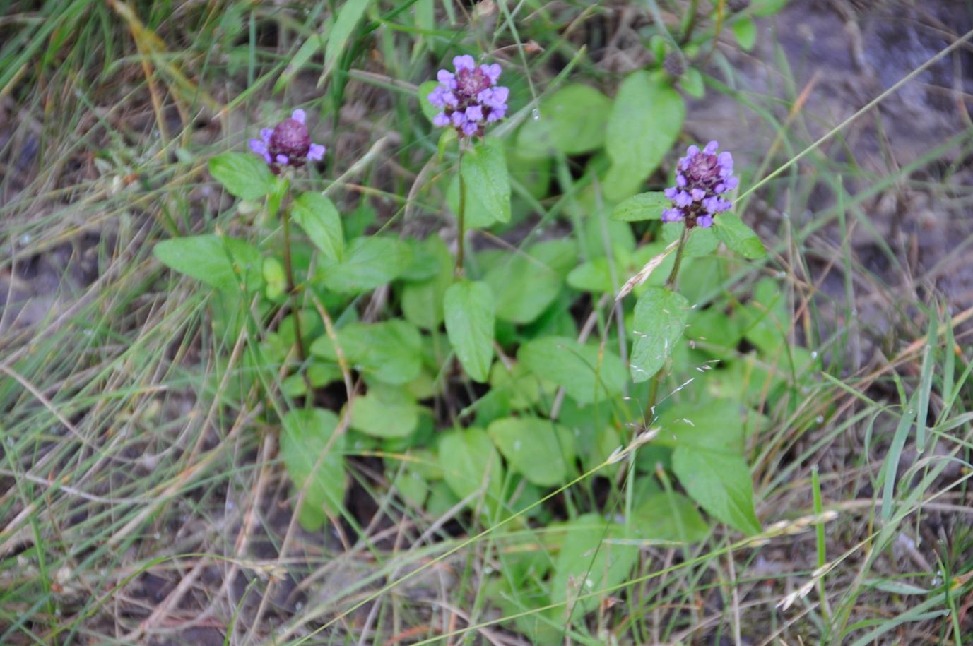 Суховершки звичайні (Prunella vulgaris)