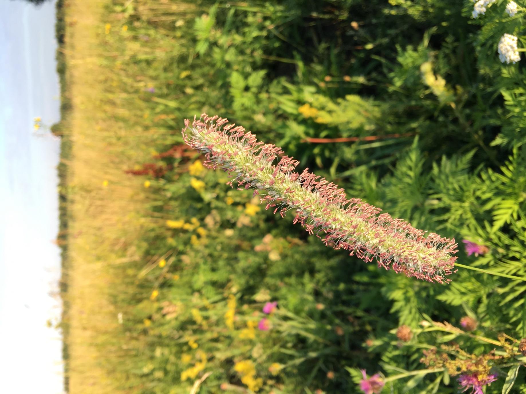 Тимофіївка (Phléum praténse)