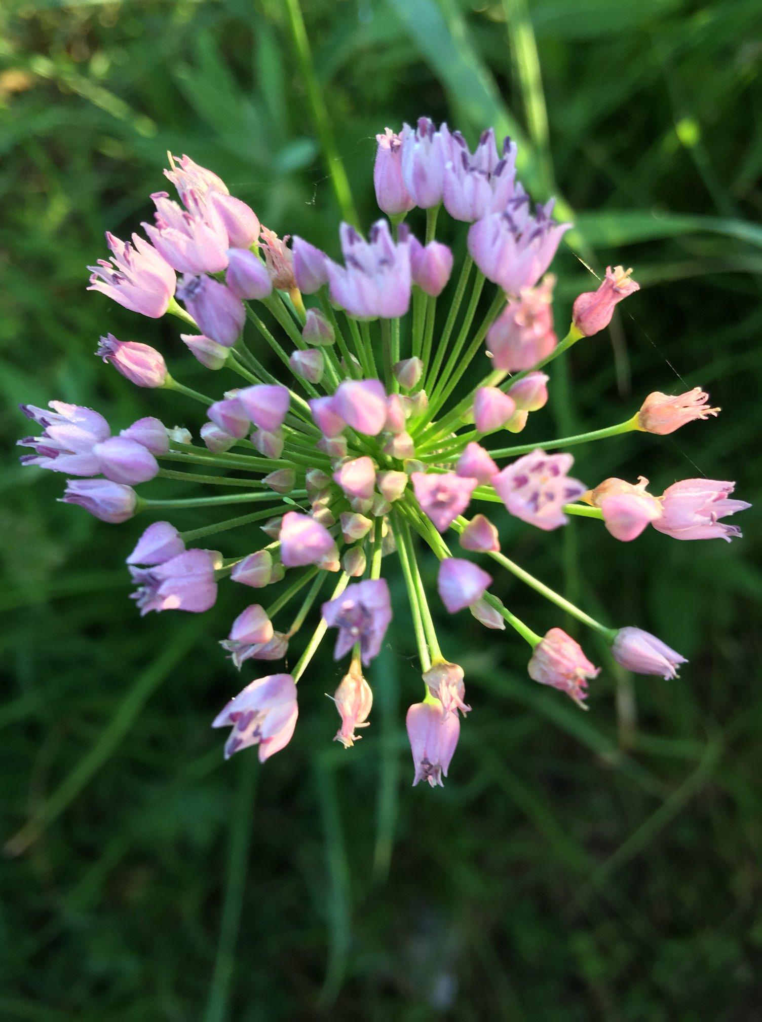Цибуля гранчаста (Allium angulosum)