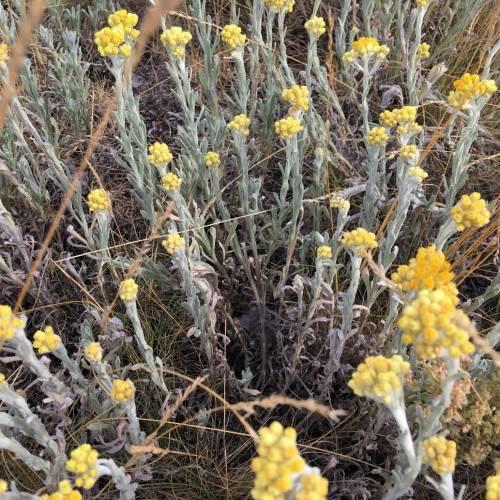 Цмин пісковий (Helichrysum arenarium)