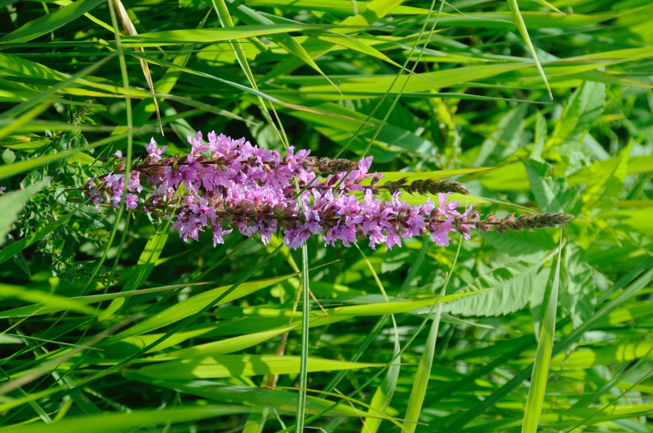Плакун верболистий (Lythrum salicaria)