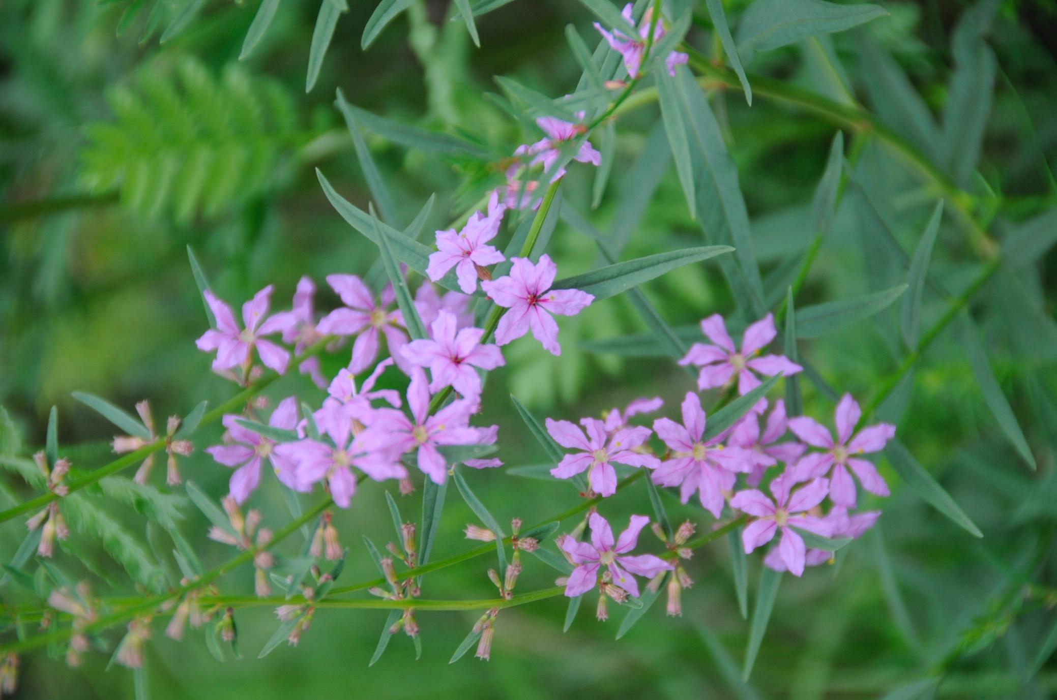 Плакун прутовидний (Lythrum virgatum)