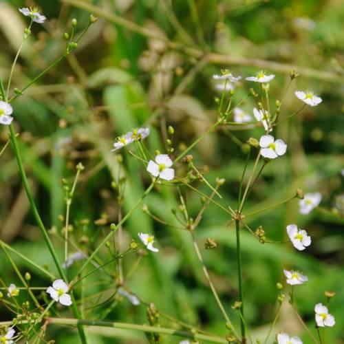 Частуха подорожникова або частуха звичайна (Alisma plantago-aquatica)